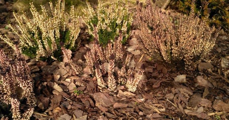 Wrzos pospolity (Calluna vulgaris) – Wrzosy w ogrodzie
