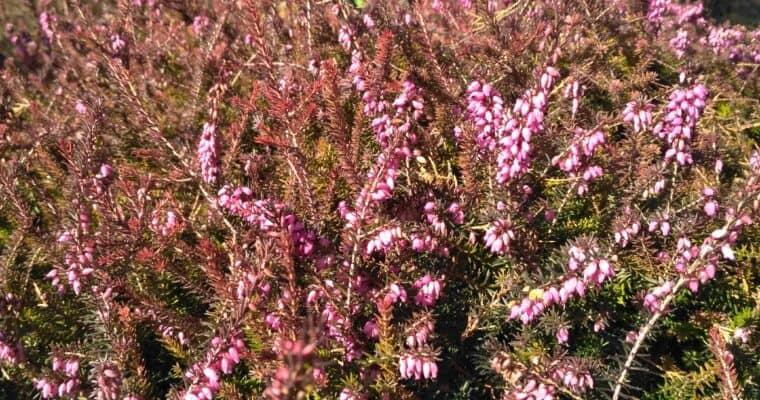 Wrzosiec darlejski (Erica x darleyensis)
