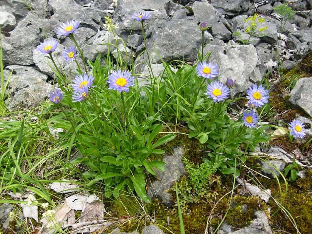 Aster alpejski (Aster alpinus) wymagania