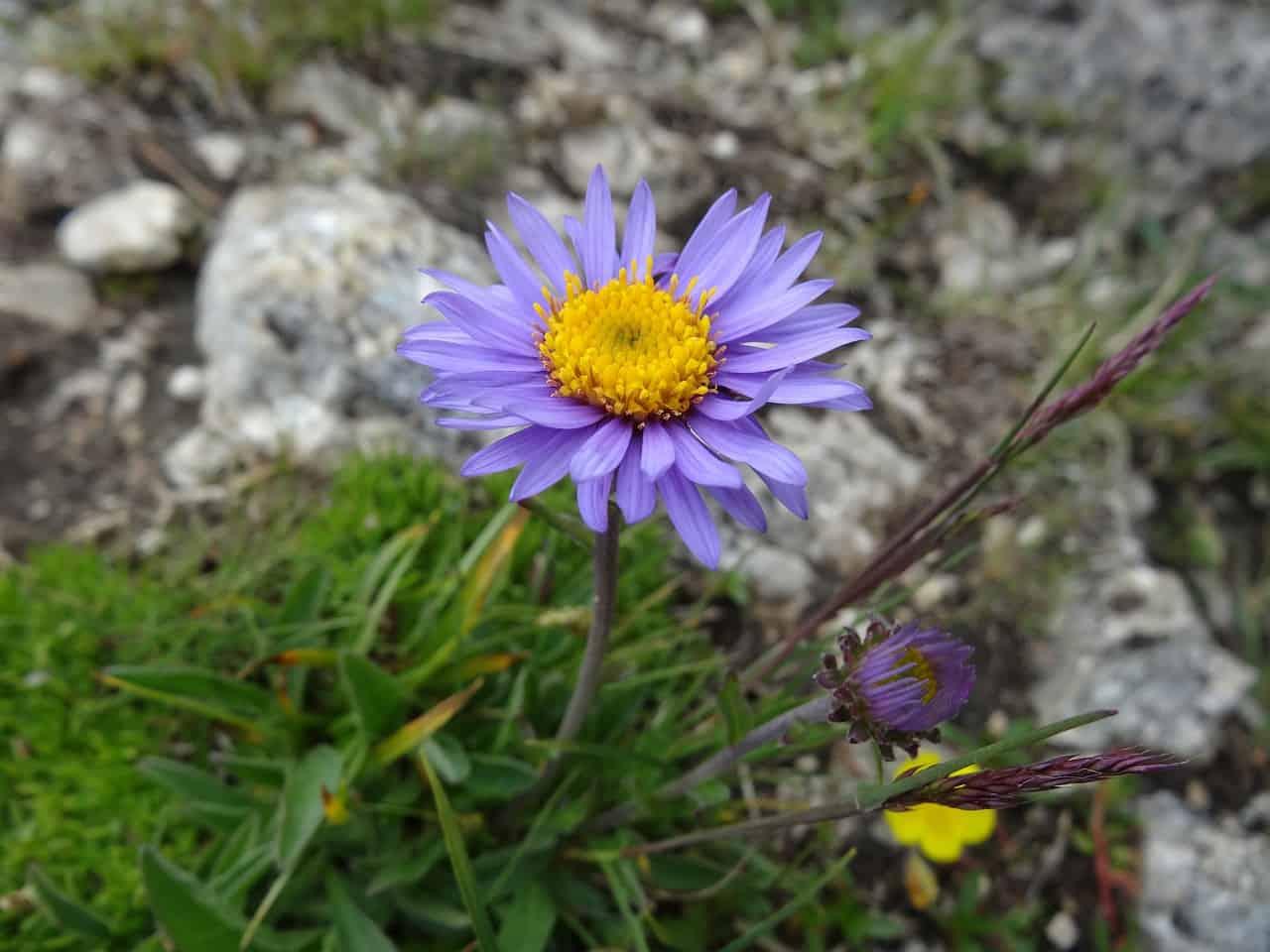 Aster alpejski (Aster alpinus)