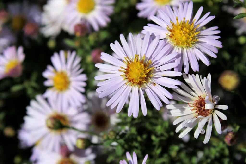 aster gawędka o białych kwiatach