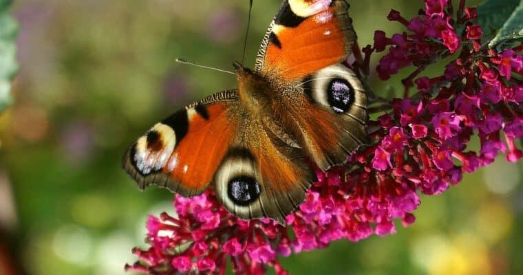 Budleja Davida (Buddleja davidii) – motyli krzew