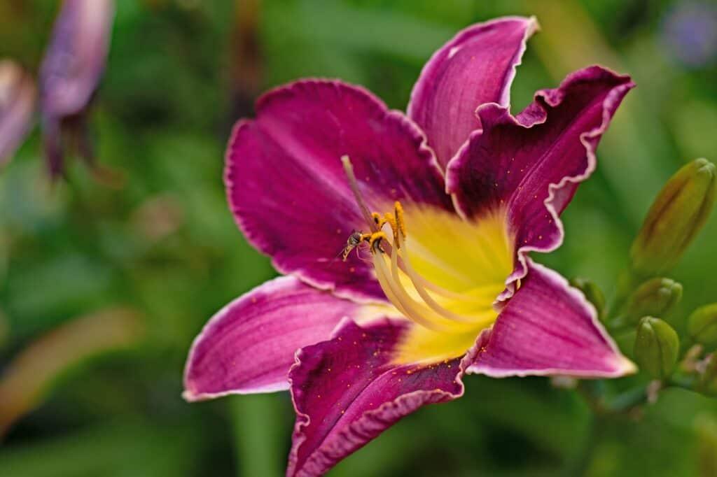 hemerocallis chicago silver liliowiec kwitnący na fioletowo