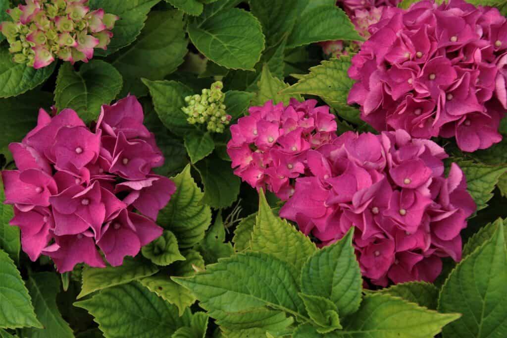hortensja ogrodowa o kwiatach w kolorze ciemnego różu