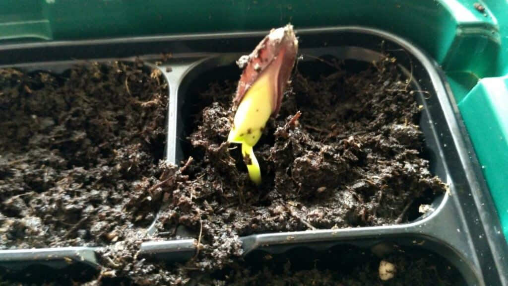 Kielichowiec plenny z nasion - młoda sadzonka