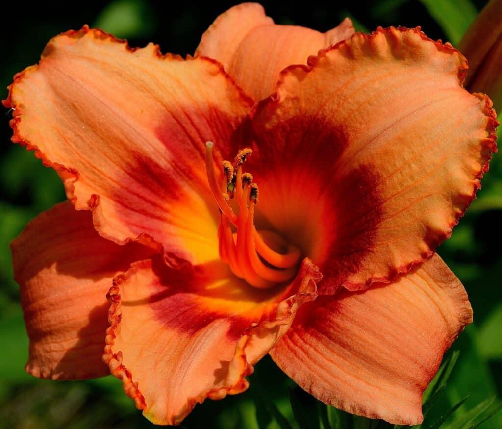 liliowiec o pomarańczowych kwiatach z żółtym środkiem