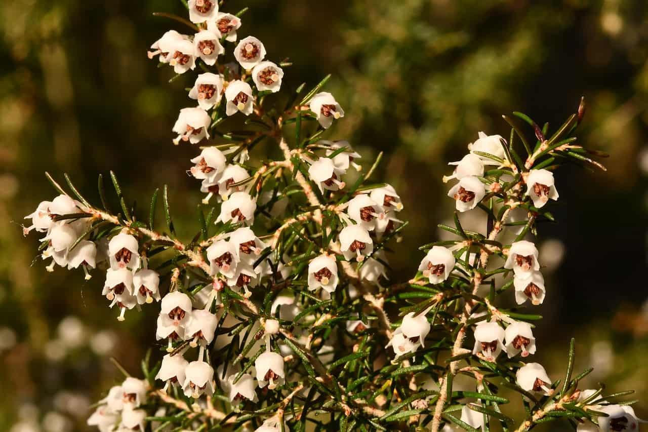 Wrzosiec drzewiasty (Erica arborea)