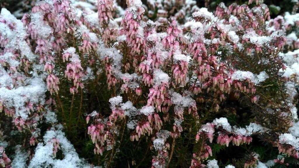 wrzosiec krwisty march seedling o delikatnie różowych kwiatach