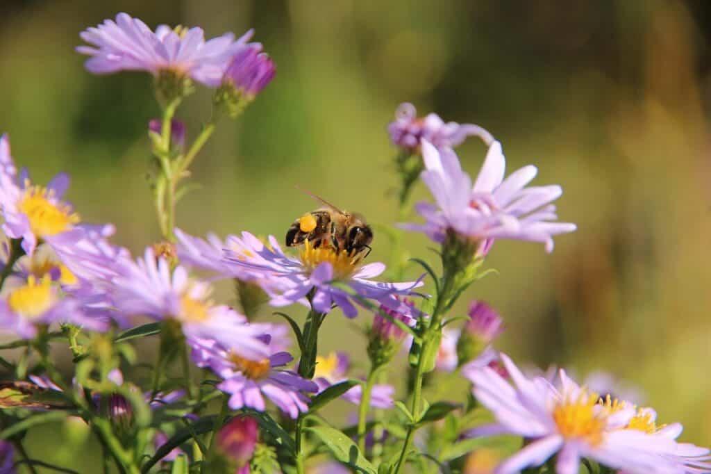 aster nowobelgijski o fioletowym zabarwieniu kwiatów