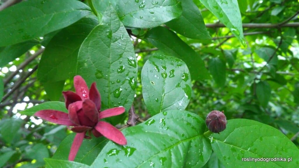Kielichowiec plenny (Calycanthus fertilis)