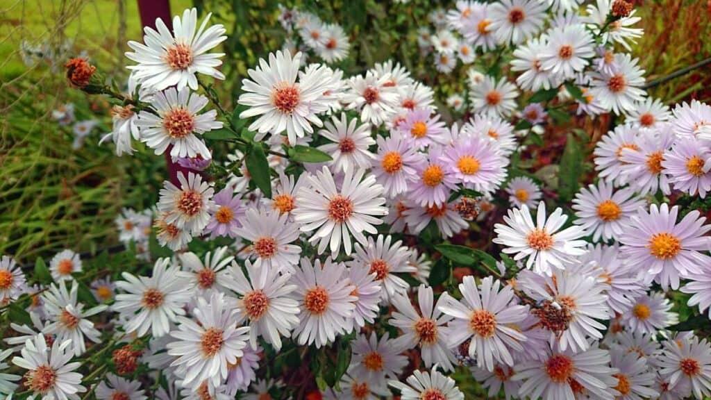 kwitnące na biało astry nowobelgijskie