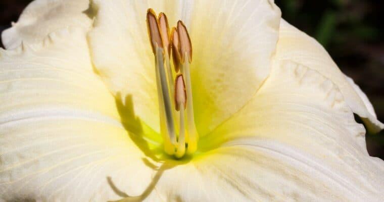 Liliowce pachnące