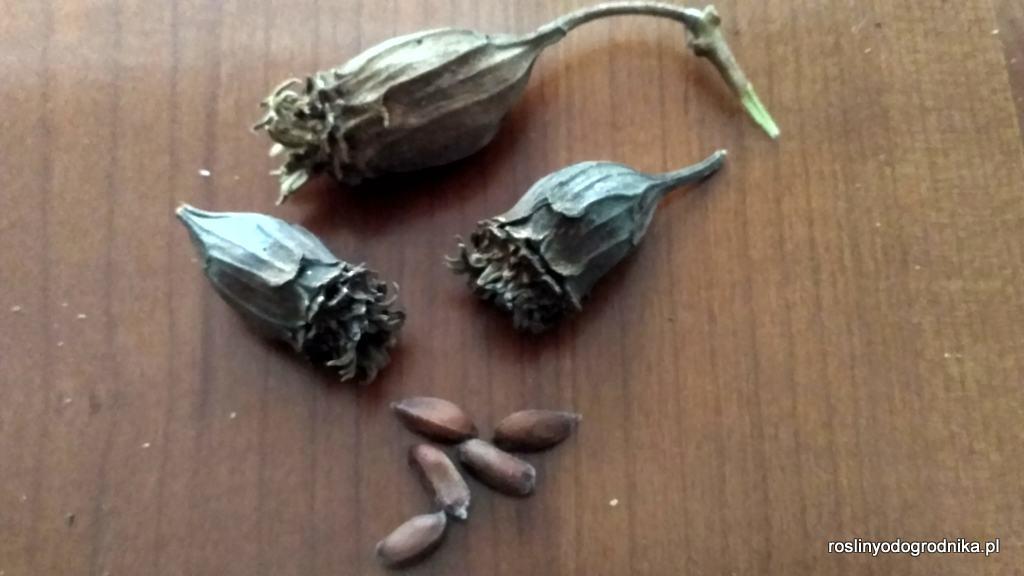 nasiona kielichowca chińskiego calycanthus chinensis