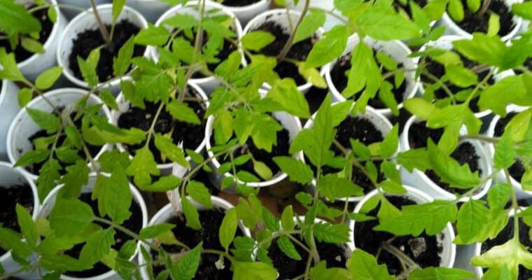 Rozsady i sadzonki warzyw