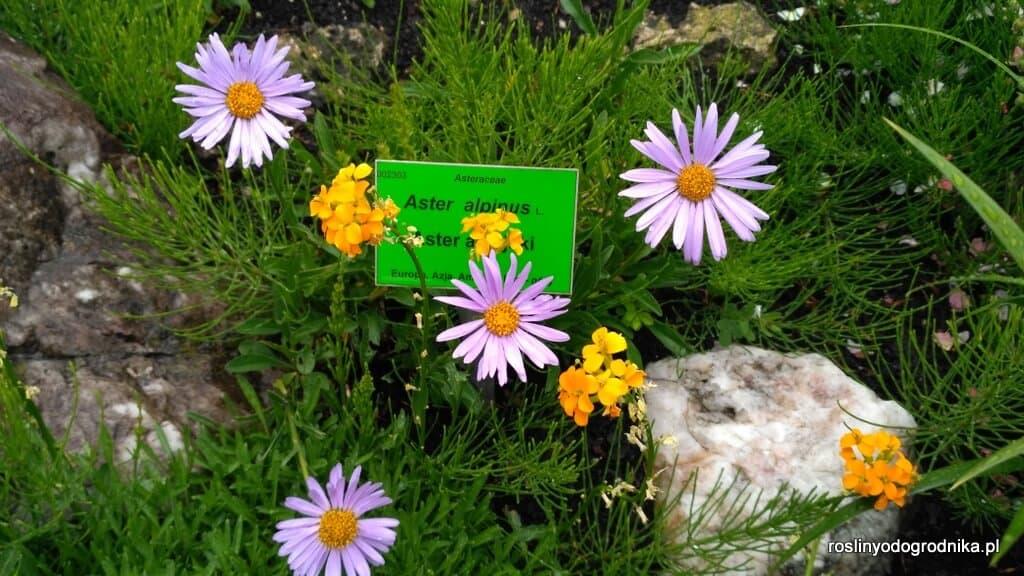 aster alpejski aster alpinus czysty gatunek
