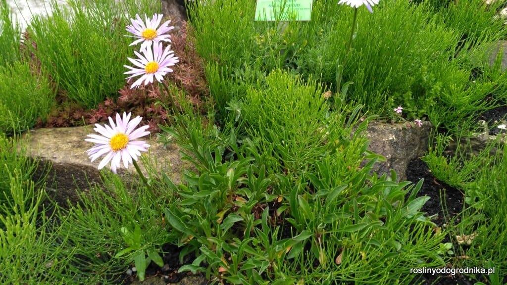aster alpinus aster alpejski kwitnący w maju
