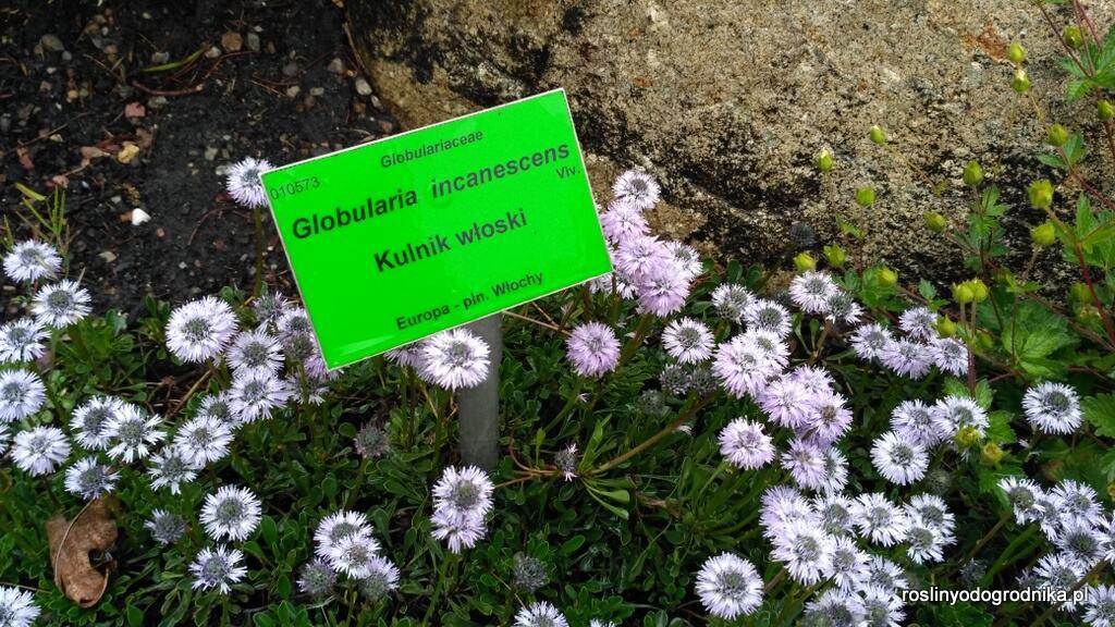 globularia incanescens Kulnik włoski