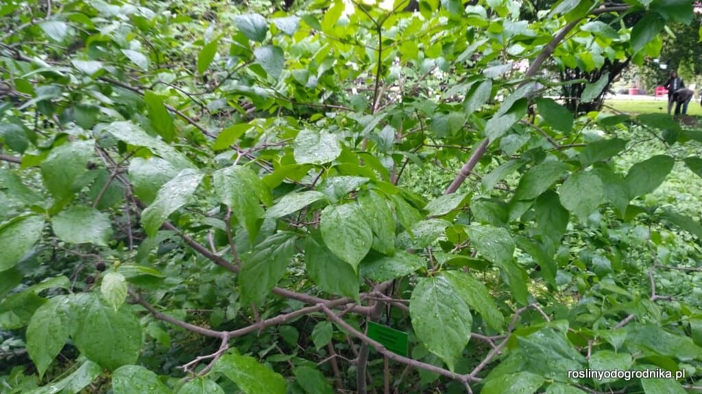krzew Kielichowca chińskiego